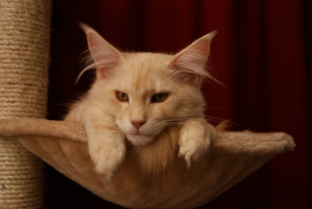Adult Maine Coon