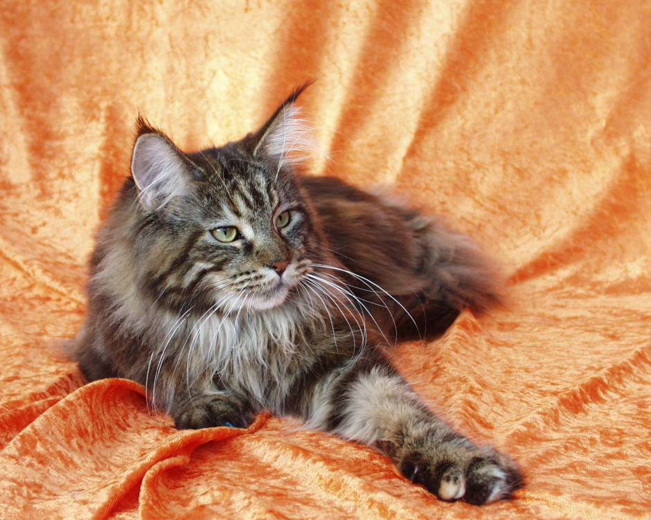 Black Tabby Maine Coon