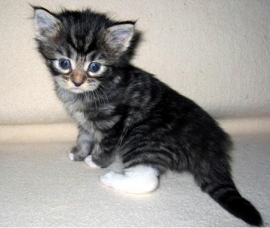 Gray Maine Coon Kitten
