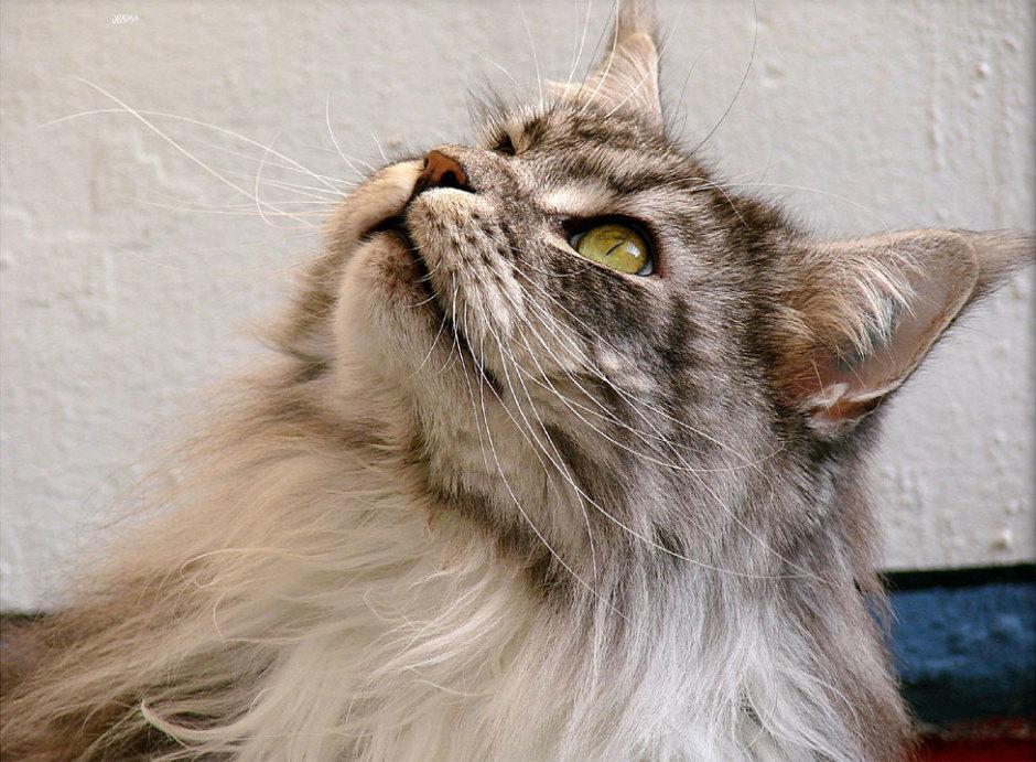 Maine Coon Teenager
