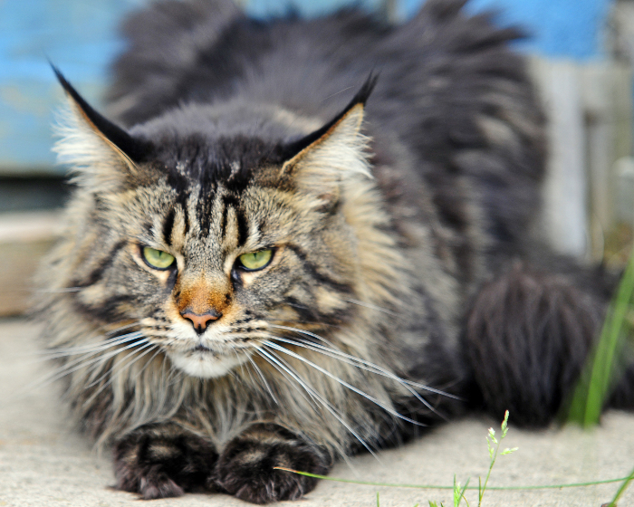 Mainecoon8 Mainecoon Org