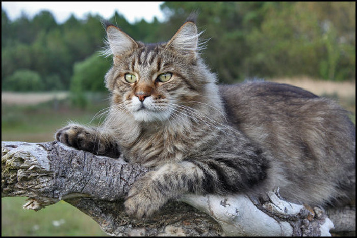 Earnings Disclaimer >> MaineCoon1 - MaineCoon.org