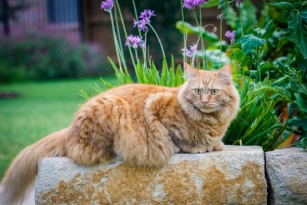Maine Coon in garden