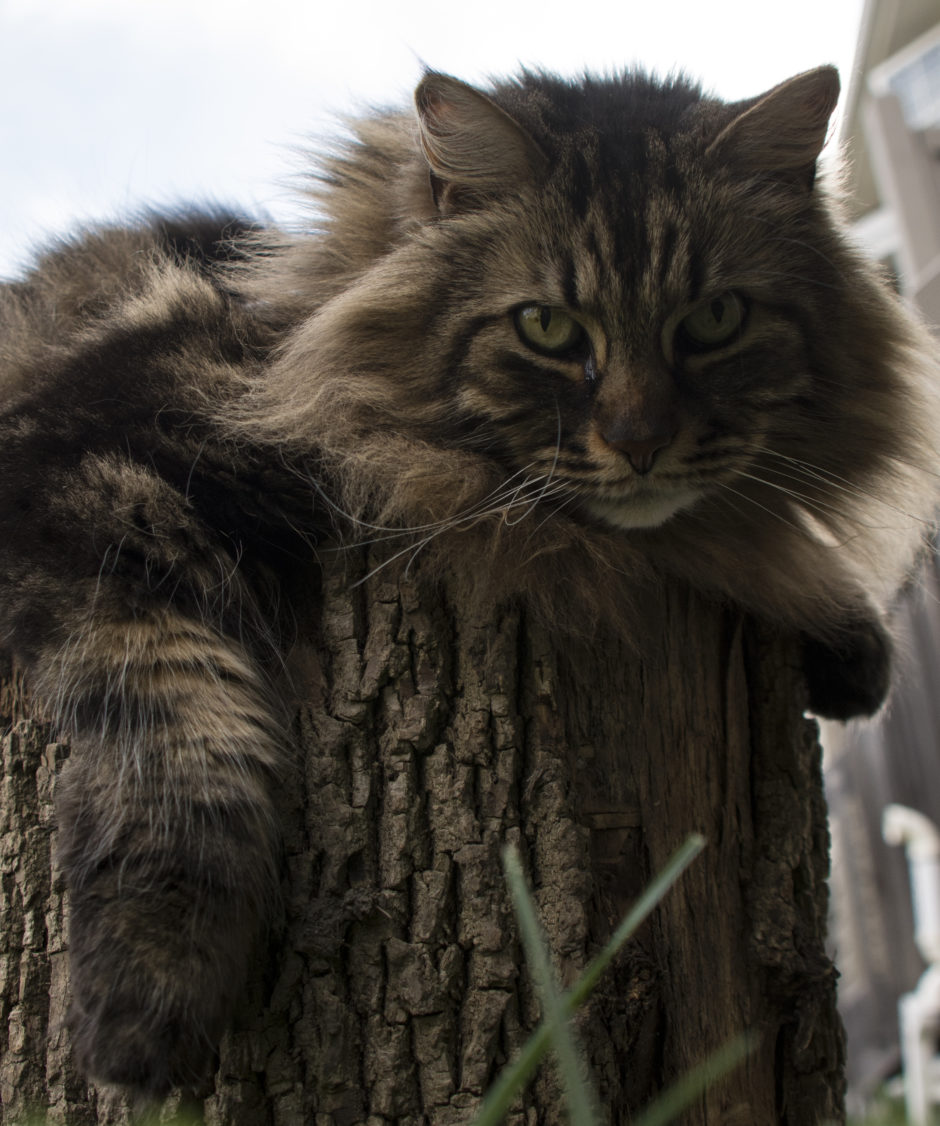 To Coon or Not To Coon: Pros and Cons of Having a Maine Coon - MaineCoon.org