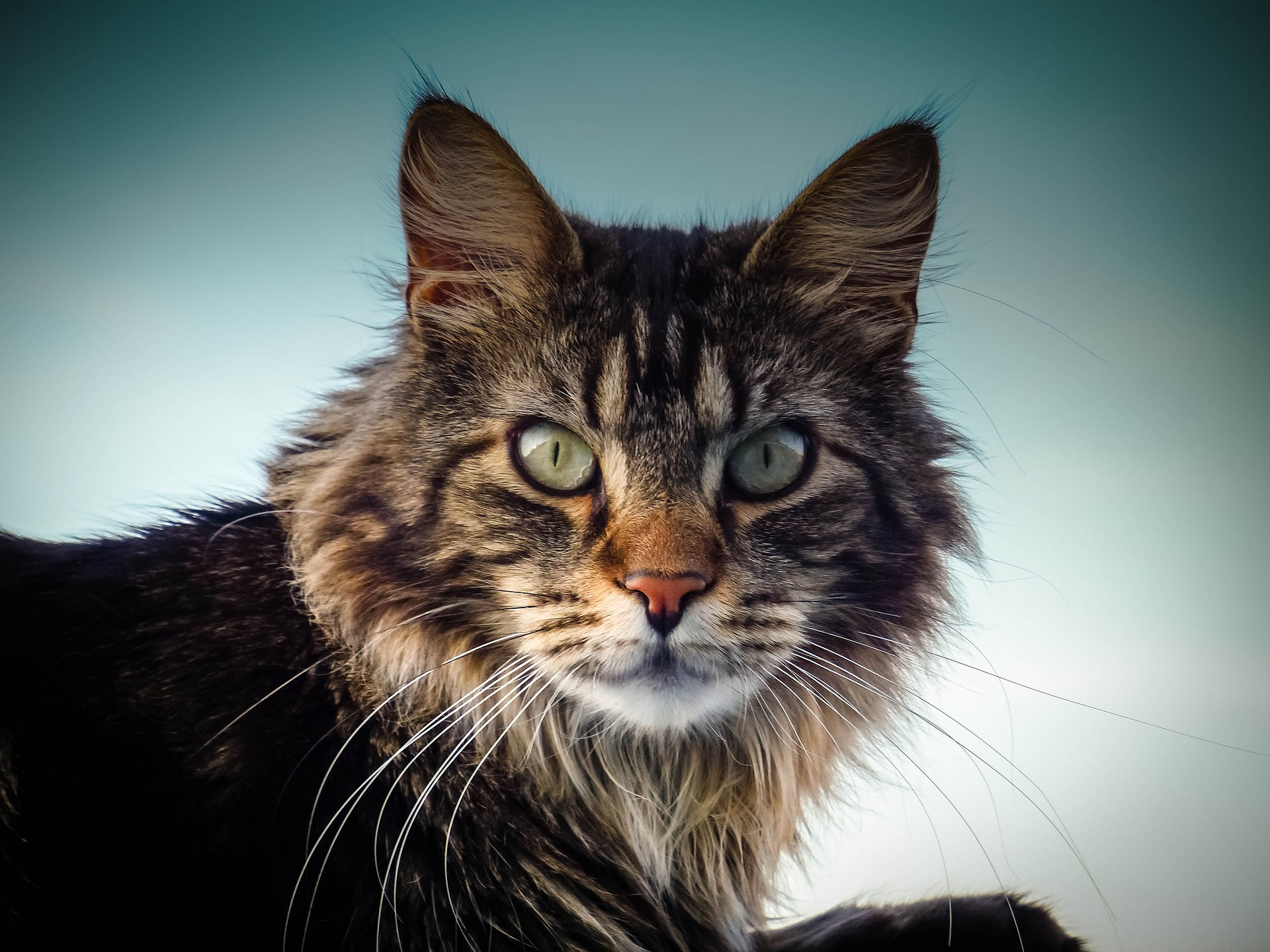 maine coon magic what is so special about maine coon cats. Black Bedroom Furniture Sets. Home Design Ideas