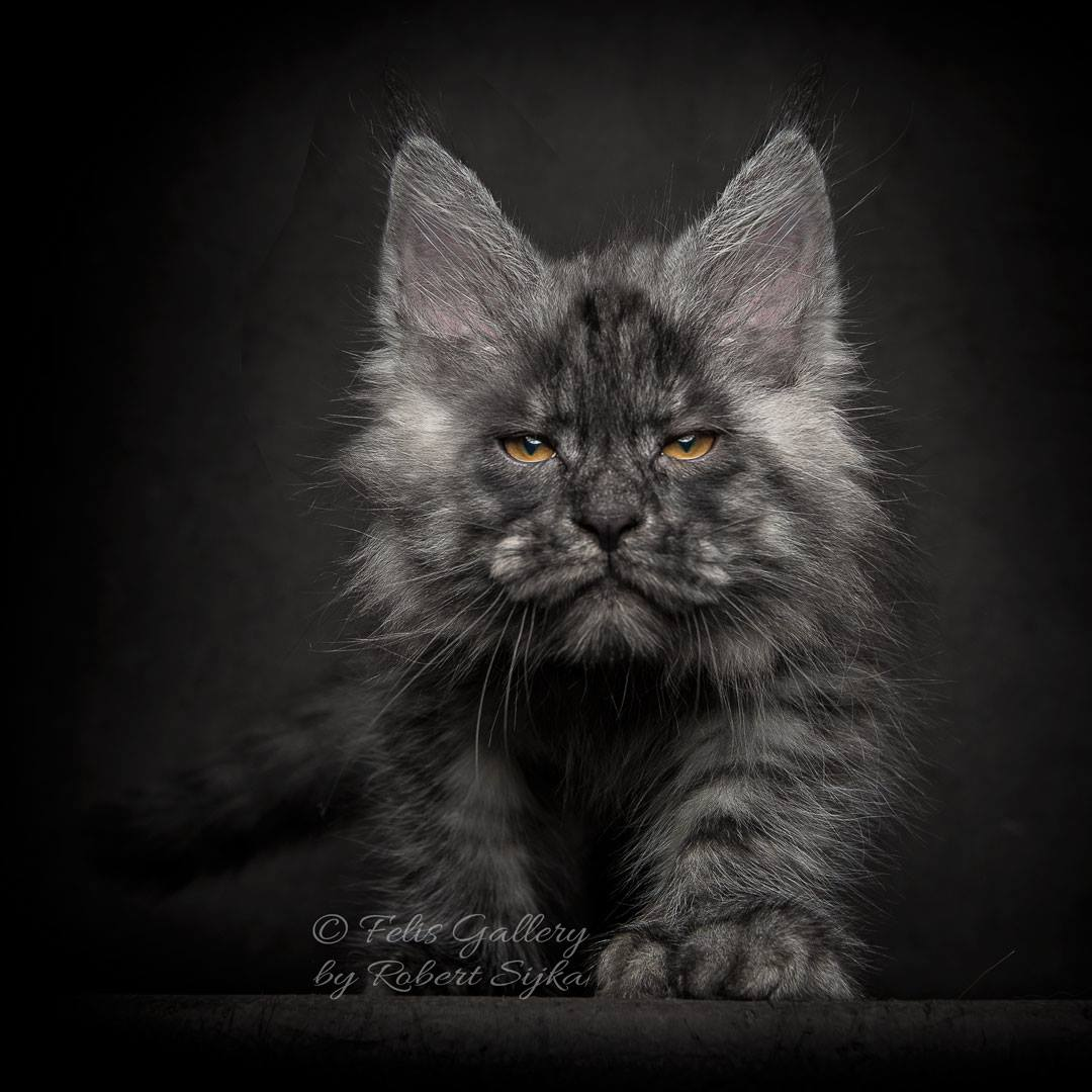Black Maine Coon Cat Characteristics
