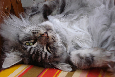 Cute Maine Coon