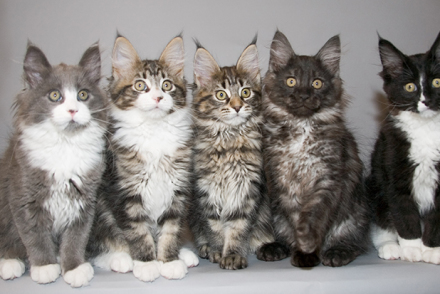 How to Tell if a Kitten is a Maine Coon - MaineCoon org