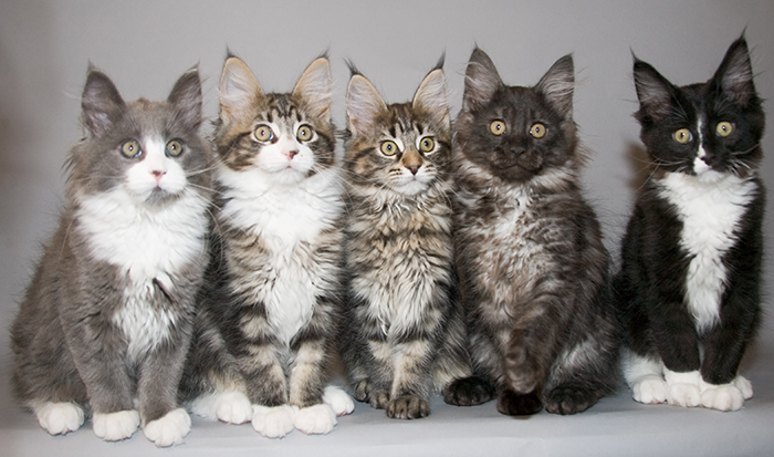Maine Coon Kittens All Different Colors