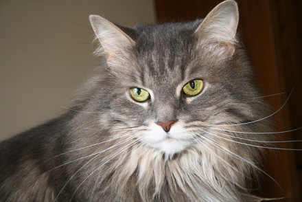 Maine Coon Mix