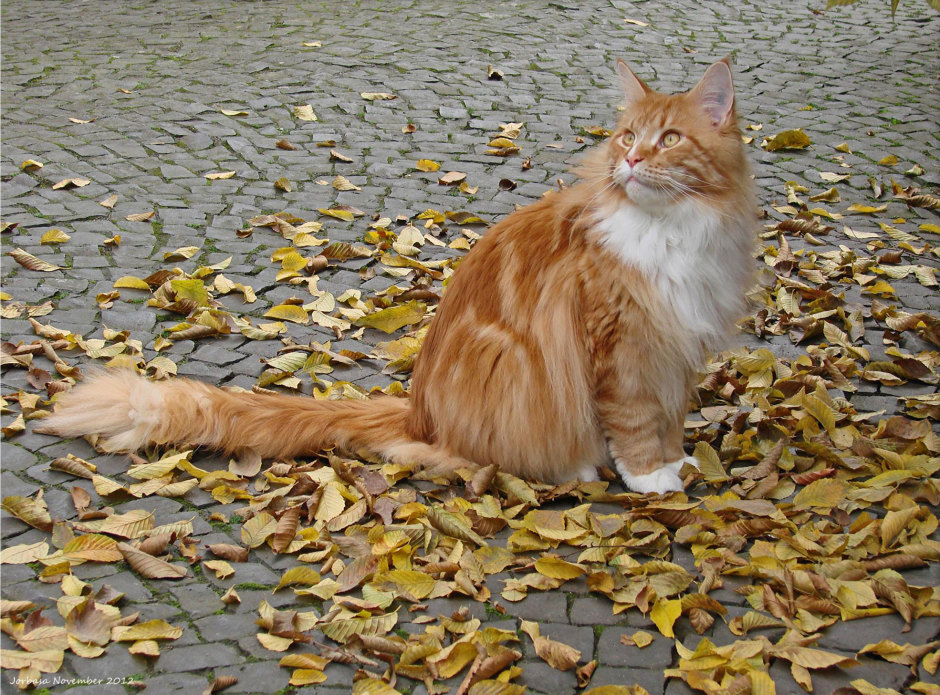 An Orange Maine Coon