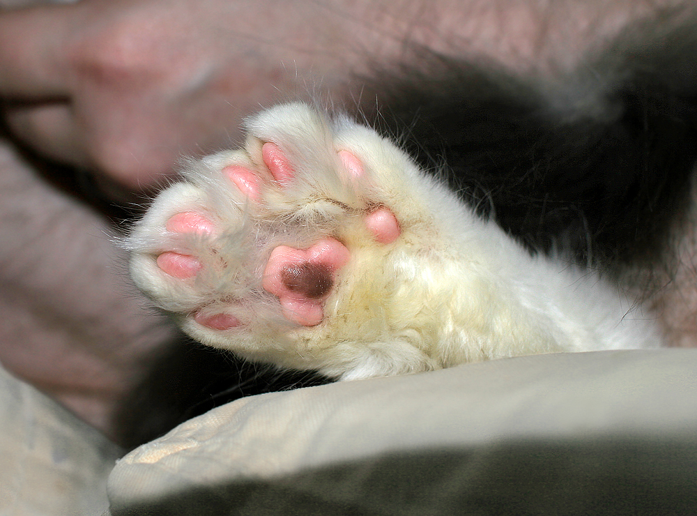 Maine Coon Polydactyl