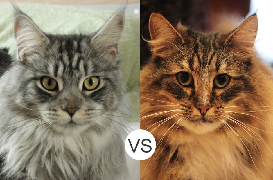 Maine Coon vs. Norwegian Forest Cat