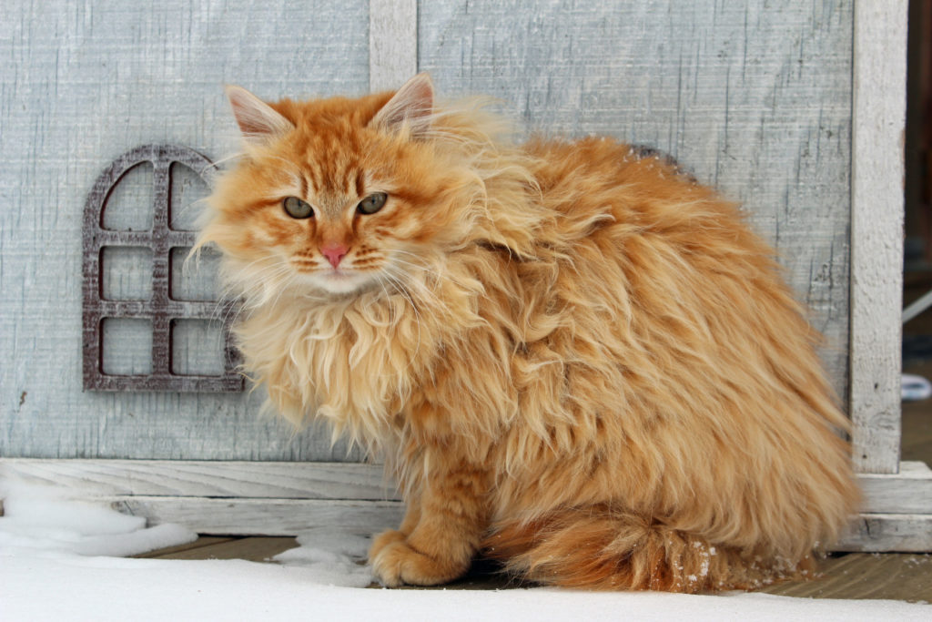 Ginger Cat Breeders Uk
