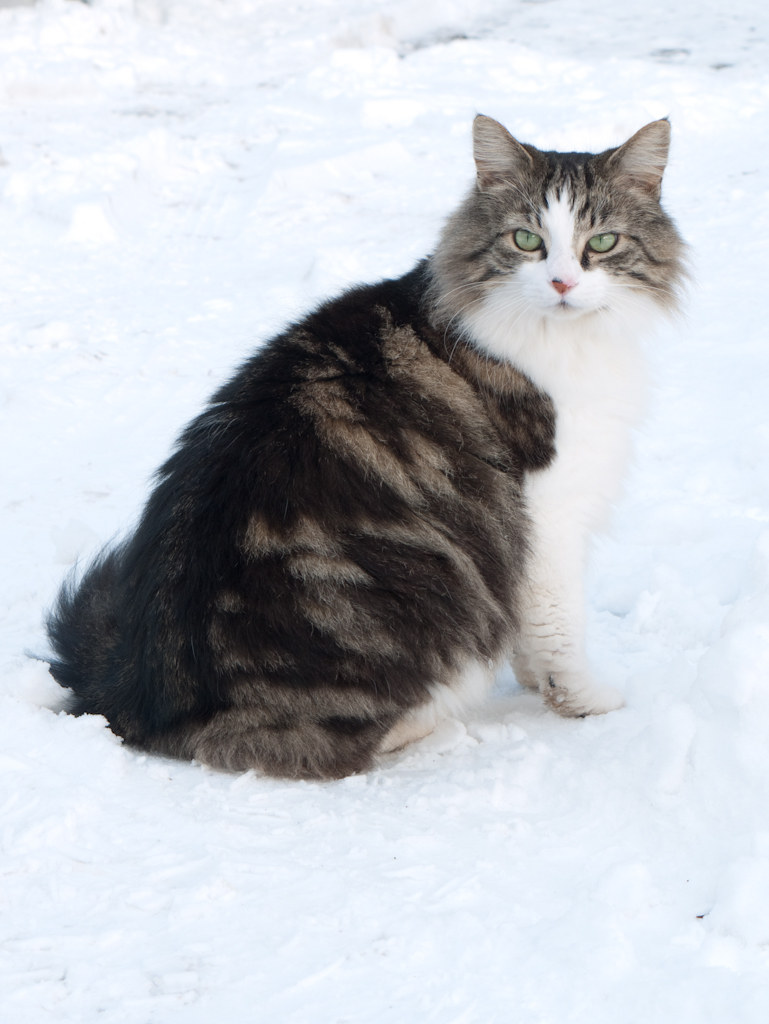 Maine Coon in Snow