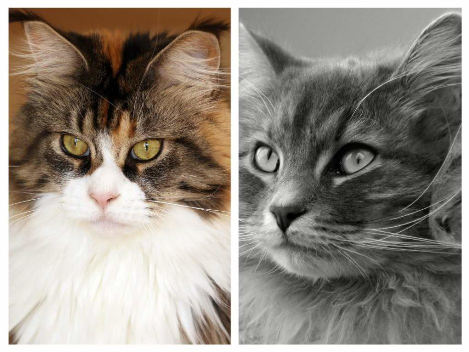 d1653e2c2d Who s the Bigger Snow Giant  Maine Coon vs. Siberian - MaineCoon.org