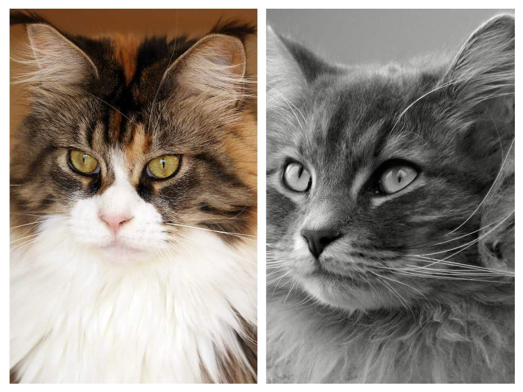 Who S The Bigger Snow Giant Maine Coon Vs Siberian