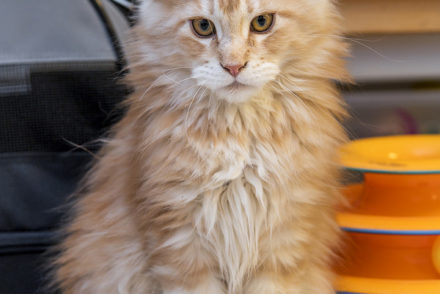 Adopting a Maine Coon from a Shelter vs  Buying from a