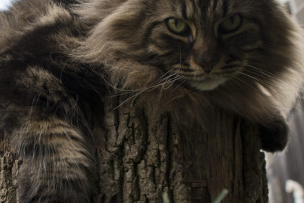 Where to Find Maine Coon Kittens for Sale - MaineCoon org