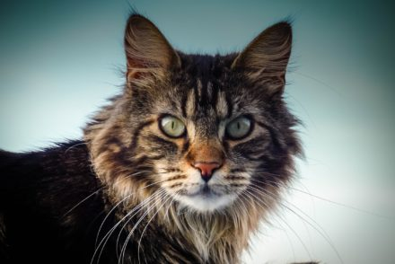 The Maine Coon Charm: How much will it cost to bring one home